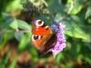 Motyl na budlei dawida