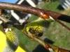 Pszczoła na kotkach wierzby iwy
