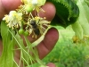 Pszczoła na kwiatach lipy