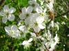 Pszczoła na kwiatach wiśni