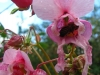 Pszczoła na niecierpku roylego