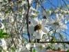 Pszczoła pobiera nektar z kwiatów wiśni