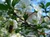 Pszczoła w sadzie